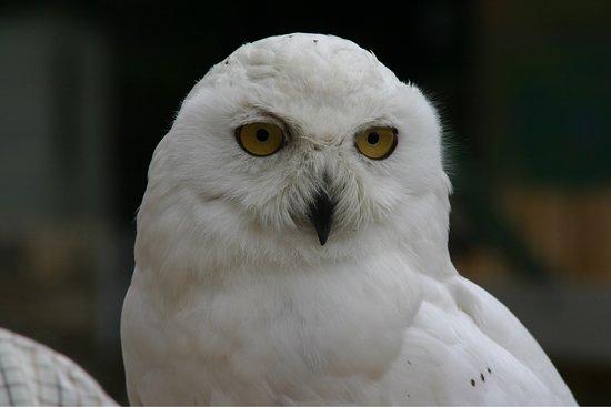 Kingsley, UK: 'Hedwig' snowy owl'
