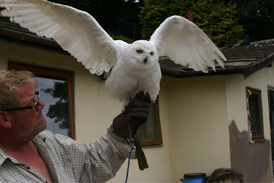 Kingsley, UK: Gareth, the owner with one of his very fine owls