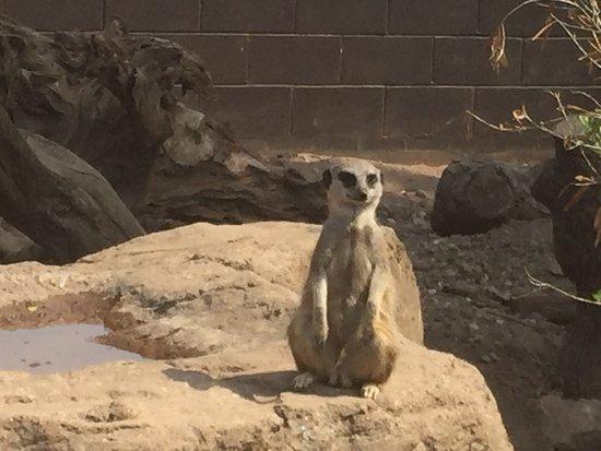 Twycross Zoo: Meerkat