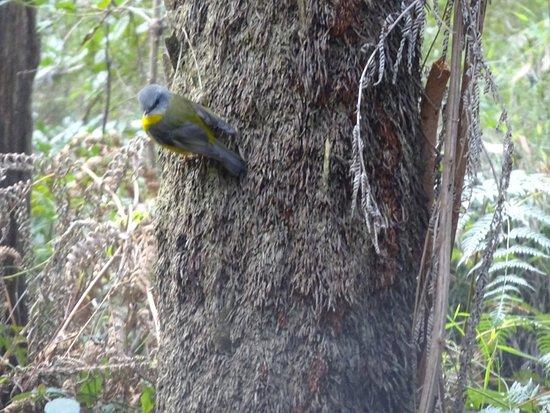 Toolangi, أستراليا: Yellow robin