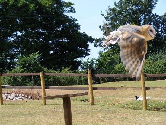 Exmoor Owl & Hawk Centre: Barn Owl in flight