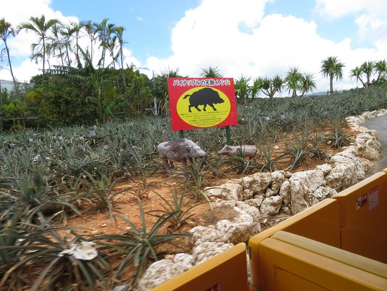 ride through pineapple plants and a sign saying boars are around