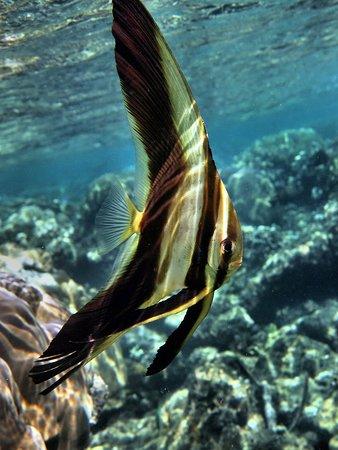 Uepi, Ilhas Salomão: long fin spade fish