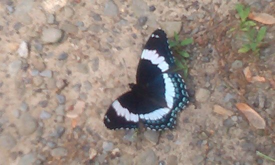 "Butterfly ""Puddling"" Along the Vestal Rail Trail"