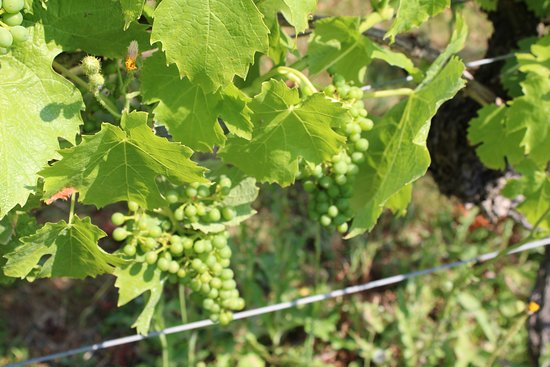 Old Warden, UK: Grapes on the vine