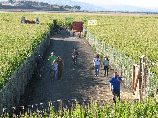Hollister, Californie: Corn Maze
