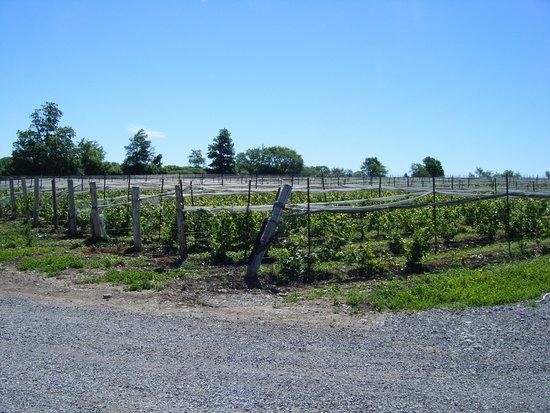 Norman Hardie Winery and Vineyard : Norman Hardie view of vines taken from tasting room