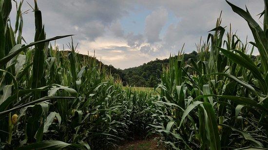 Fairfield, VA: Paths through the cornfields on the property