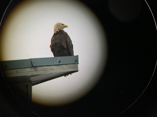 Driftwood Inn & Homer Seaside Lodges: Eagle on building next door shot from my room. :)