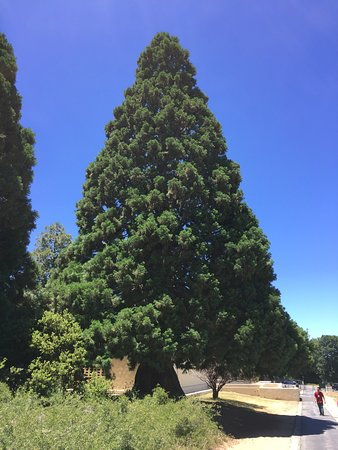 Palomar Mountain, Kalifornien: Tree