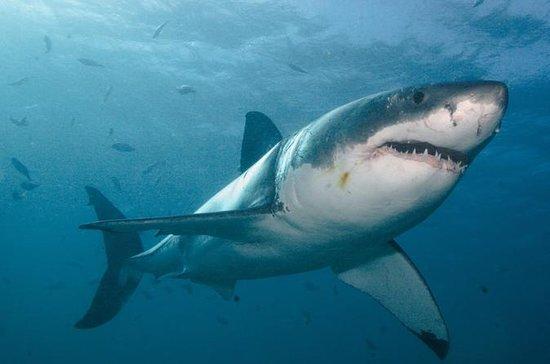 Gran jaula de tiburón blanco