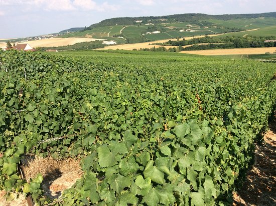 Chalons-en-Champagne, ฝรั่งเศส: Vigneti nei dintorni di Châlons en Champagne