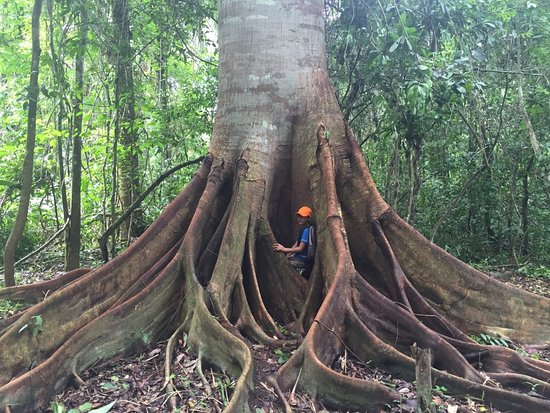 Sustainable Bolivia: Giant tree in the aquicuana reserve