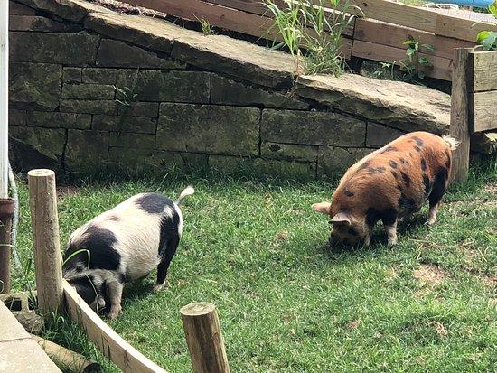 เอลิซาเบท, เพนซิลเวเนีย: Pigs