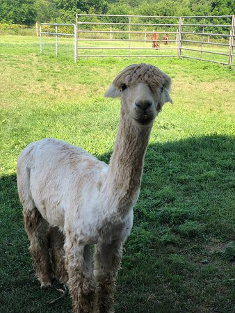 Heartland Criations Alpacas