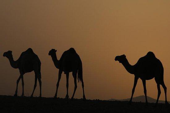 Área de Palmerai Paseo en camello