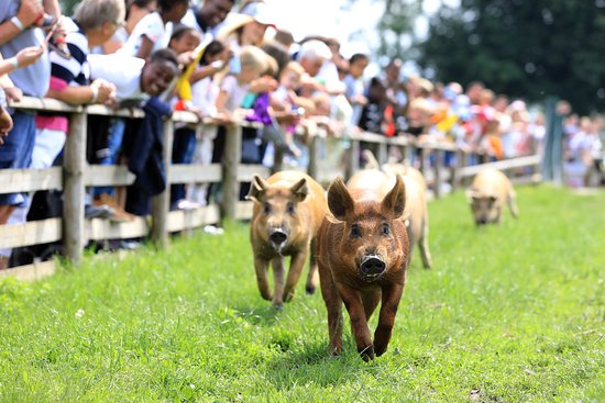 Leatherhead, UK: Our famous pig race happens daily