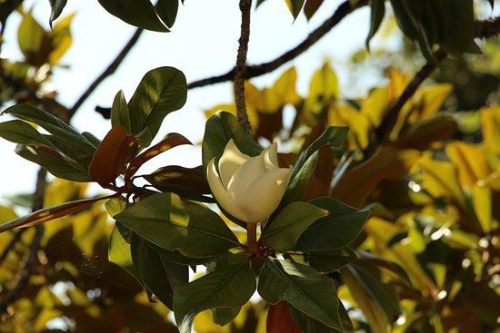 Tizac-de-Curton, France : Magnolia en fleur
