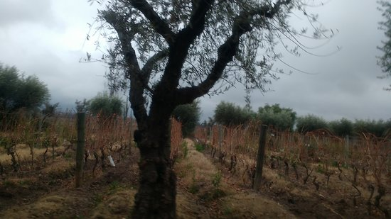 Bodega Achaval Ferrer: oliveira e vinhedos