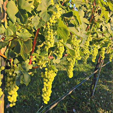 Albertville, AL: Wine grapes!!