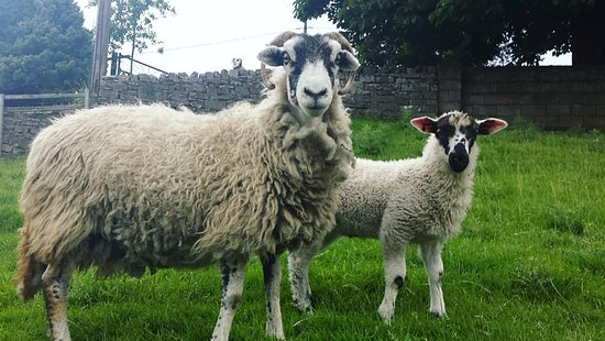 Low Row, UK: Swaledale Ewe with Masham lamb