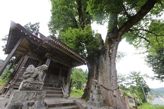 Tokamachi, اليابان: 十二神社:大ケヤキ
