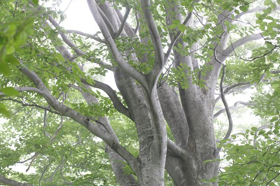 Amamizukoshi Buna Forest: 天水越のブナ森:巨大なブナ