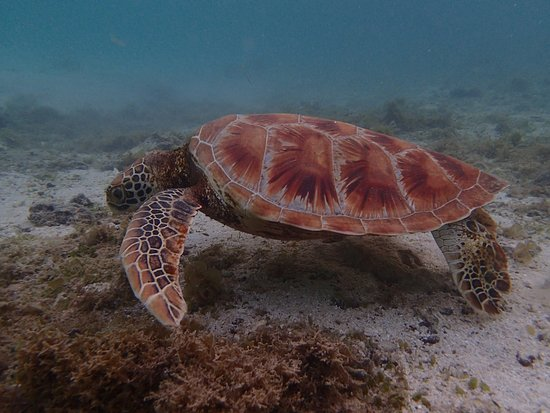 Manase, Samoa: Turtles which you can see at the beach