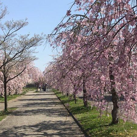 しだれ桜並木に感動