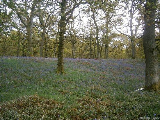 Murthly, UK: Bluebell Woods