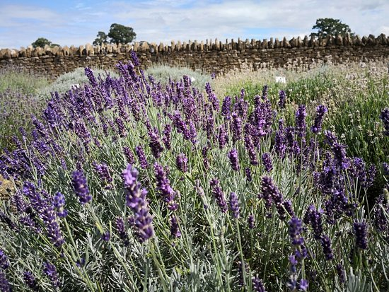 Faulkland, UK: Nice Place of Lavender. Not very large but still good enough to take some nice photos.