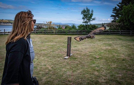 Milltown, Irland: owl flying