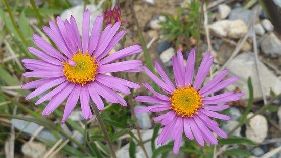 Wädenswil, Schweiz: Alpine aster - a rare mountain flower