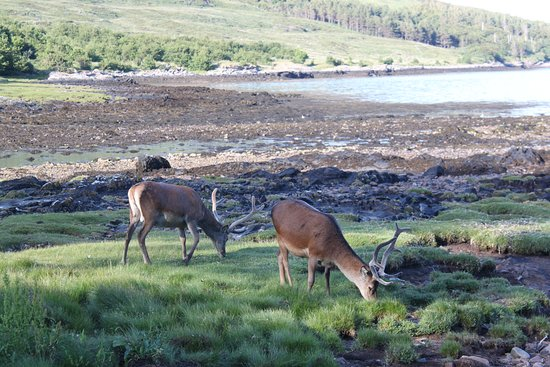 Isle of Rum, UK: Red deer stags on the beach opposite during dinner.