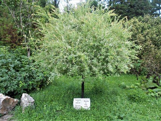 Zirc, Венгрия: Egy különleges fa a sok közül