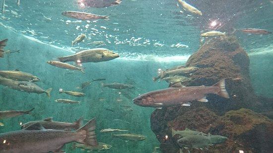 Shibetsu Salmon Park