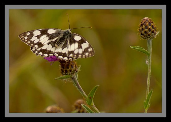 RSPB West Canvey Marsh: Marbled white butterfly