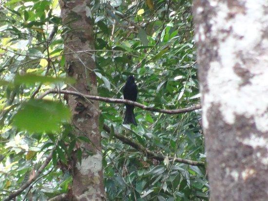 Cendrawasih Expedition: spanled drongo