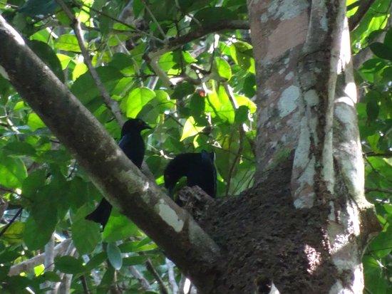 Cendrawasih Expedition: spangled drongo nest