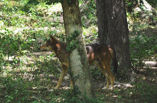 Eureka, MO: Male Red Wolf