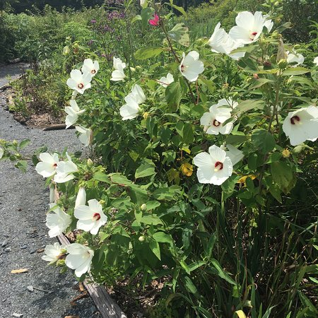 Maryland: Wild mallows at Eastern Neck Island