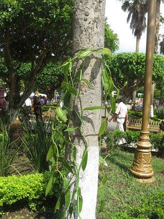 Papantla, Μεξικό: A vanilla orchid