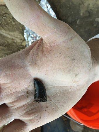 Glenrock, Ουαϊόμινγκ: Nanotyrannus shed tooth