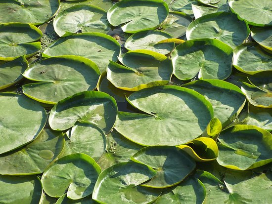 Hillsboro, OH: lots of lily pads