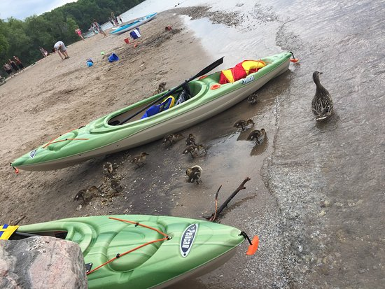 Barrie, Canada: Beautiful minets point, goselings, geese, boats, kayaks, kids swimmer, playground, washroom,