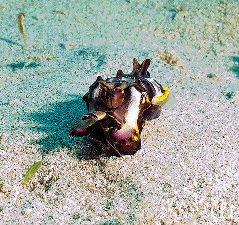 Остров Бангка, Индонезия: A flambouant cuttlefish taken during a dive off the island
