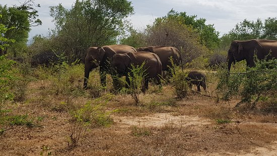Uda Walawe National Park, Sri Lanka: Herd of wild elephants with a one month old baby grazing in their natural habitat