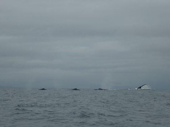 Isla Cebaco, ปานามา: walvistour