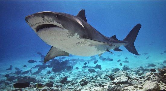 Fuvahmulah: Tiger Shark Juanita