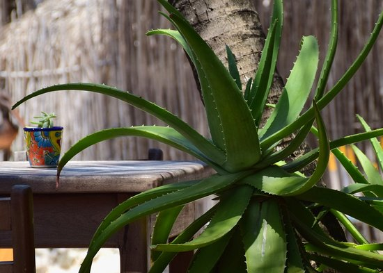 The Restaurant at ZAMAS: aloe in the planters
